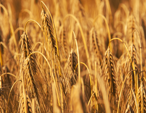 Golden Wheat 2: A ripened wheat crop ready to harvest.