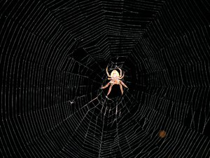 Neat looking spider: this thing made it's web between a tree a bush, it was huge!! i have no idea how he managed it, but some how he did