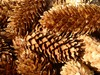 Pine Cones: Pine Cones collected at North Sea Island Wangerooge. A great autumn decoration