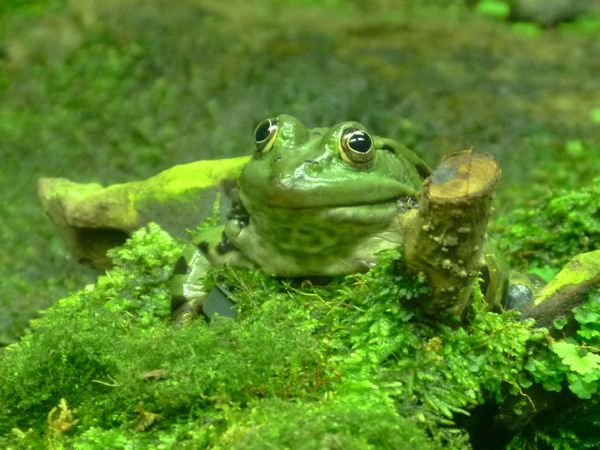 Green Frog (rana esculenta): also known as Common Water Frog or Edible Frog,