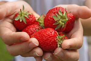 Strawberry Hands: Hands holding ripe picked strawberries