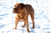 Bordauxdog Harley 1: He likes to play in the snow, he loves the cold weather.