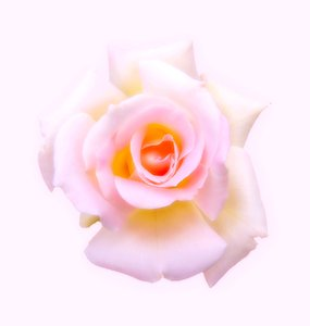 Rose: A colourful, soft pink and yellow rose. You may prefer:  http://www.rgbstock.com/photo/oRSY38K/Pink+Rose+4  or:  http://www.rgbstock.com/photo/nYgxdg4/Antique+Rose+2