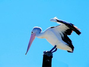 Pelican: A Queensland pelican balancing on a post. Taken on full zoom. Looks much better in the large version - none of what appears to be blurring in the small. The Australian pelican has the largest beak in the world.