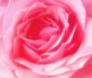 Pink Rose: Macro taken with an old camera. I enhanced it and thought it might be useful.