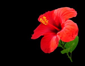 Red Hibiscus 1: