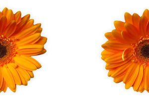Gerbera Half and Half: Gerbera halves suitable for a background or border.