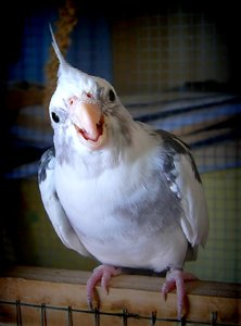 Are You Talkin' To Me 2: My second cockatiel trying to be aggressive. Unfortunately, he's cute as a button! Sadly, he died 17/03/2015. RIP Little Chicken.