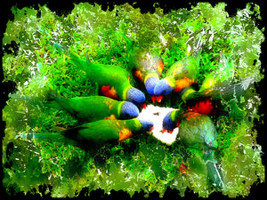 Rainbow Lorikeets Feeding: Grungy effect on an image of rainbow lorikeets feeding on bread. Taken in my yard where I used to live. I would have about thirty to forty of these visit several times each day.