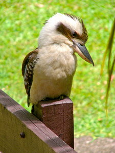 Kookaburra: A friendly kookaburra who used to visit me and loved getting bits of bread and meat. Kookaburras are the largest of the kingfishers in the world. Known as the laughing jackass for its distinctive morning and evening laughing call.