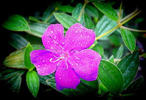 Flower With Raindrops: A purple tibouchina flower after the rain. You may prefer this: http://www.rgbstock.com/photo/dKToZO/Flower+With+Droplets