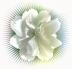 White Flower on Burst: A delicate white flower on a burst effect, with a white background.