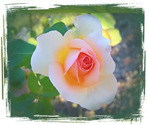 Rose Grunge: A double delight pink and apricot rose with a grungy border.