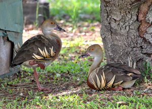 Plumed Whistling Duck: Native to Australia and New Guinea, this pair is in my back yard. You may prefer:  http://www.rgbstock.com/photo/2dyVNCo/Pelican  or: http://www.rgbstock.com/photo/n2raT6u/Rainbow+Lorikeet