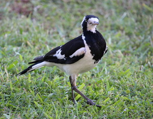 Female Peewee or Magpie Lark: Grallina cyanoleuca, a common bird all over Australia has a bell like and very loud call, and sings duets with its mate that sound like the one bird call. Mildly aggressive when nesting, but dainty and easily tamed. Females have a white throat.