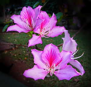 Pink Bauhinias: Pink bauhinias in full bloom. You may prefer:  http://www.rgbstock.com/photo/2dyVBKT/Pink+Bauhinia+-+Tree+Orchid  or:  http://www.rgbstock.com/photo/2dyVOWD/Bauhinia+-+Sheer+Beauty