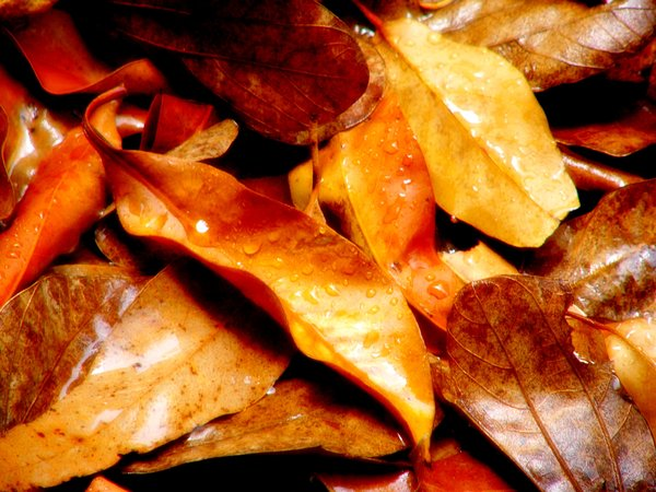 Autumn or Fall Leaves in Rain: Autumn leaves glistening with droplets in gentle rain. Reminders of times that are now past.