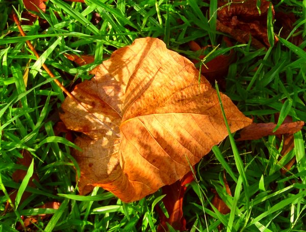Beautiful in Death 2: Golden leaf contrasted against the fresh green grass.