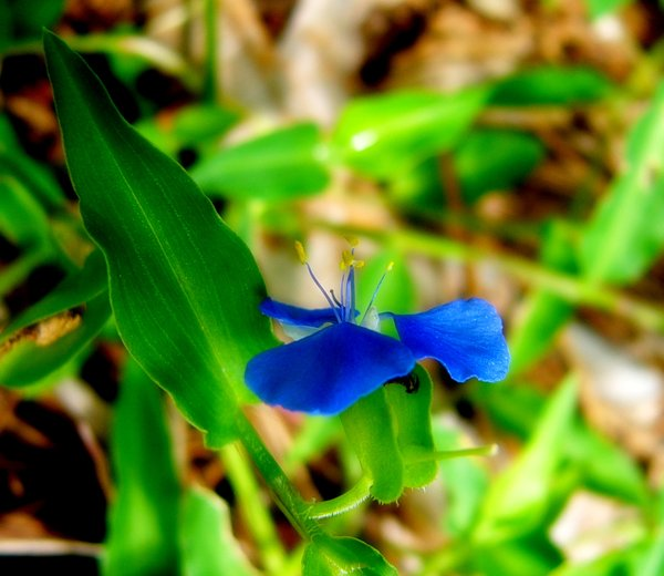 Blue Weed Flower 2: Beautifully coloured flower in a tiny, simple plant regarded as a weed.