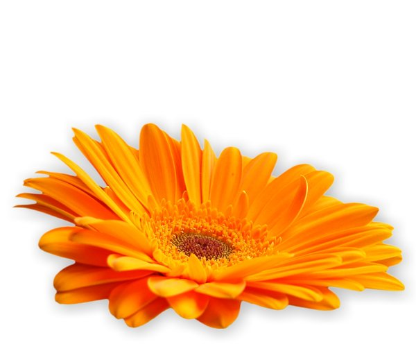 Gerbera Daisy Orange 1: Cut out gerbera on a plain background. Pretty orange colour.