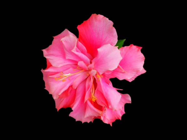 Double Hibiscus 1: A beautiful pink flower I spotted while driving. I think it's some sort of double hibiscus, but I've never seen one before. Cut out on a black background.