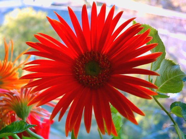 Cheerful Red Gerbera: Red gerbera in my office. Taken with my old camera, so the quality isn't as good. Such a bright and happy colour, I thought it might be useful.
