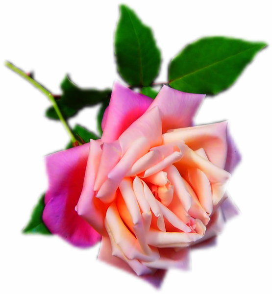Pink and Cream Rose: A beautiful pink rose with a blurred vignette.