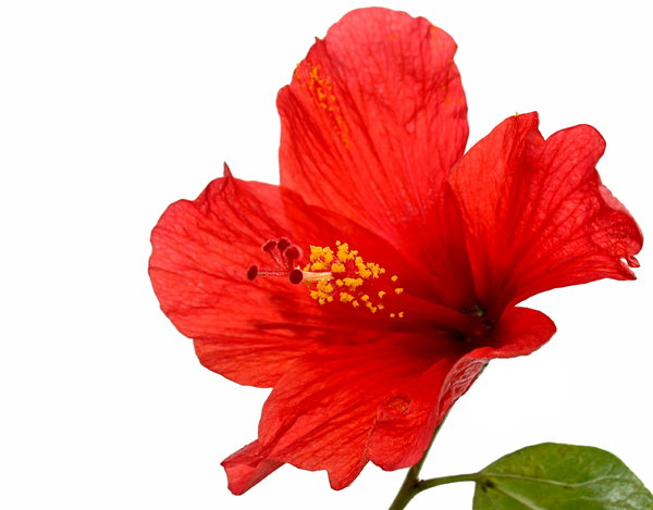 Red Hibiscus: A red hibiscus with yellow pollen, isolated on a white background. Focus is on the pistil.
