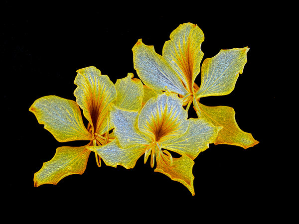 Golden Bauhinias 1: A trio of bauhinias with a golden textured effect, on a black background.