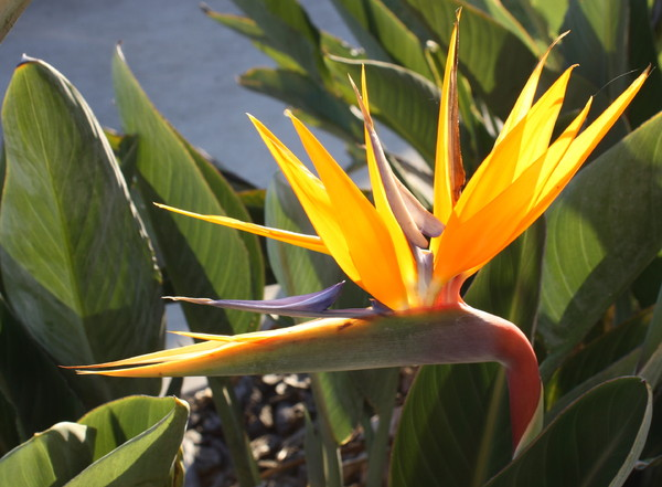 Bird of Paradise- Strelitzia 2: Flower of the strelitzia or