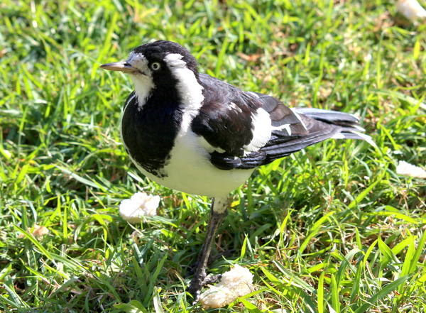 Female Peewee or Magpie Lark 2: Grallina cyanoleuca, a common bird all over Australia has a bell like and very loud call, and sings duets with its mate that sound like the one bird call. Mildly aggressive when nesting, but dainty and easily tamed. Females have a white throat. You may li