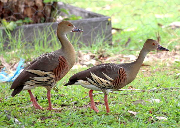 Plumed Whistling Ducks 3: Native to Australia and New Guinea, this pair is in my back yard. You may prefer:  http://www.rgbstock.com/photo/2dyVNCo/Pelican  or: http://www.rgbstock.com/photo/oZq7QWg/Plumed+Whistling+Duck