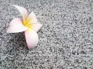 Frangipani on Granite 4: Frangipani flowers on granite tiling.