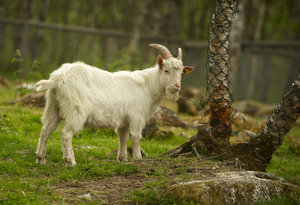 Domestic goat: White domestic goat in green field