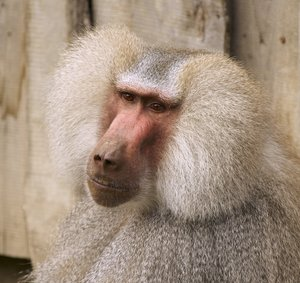 Alterego of Einstein: Portrait of a male baboon with