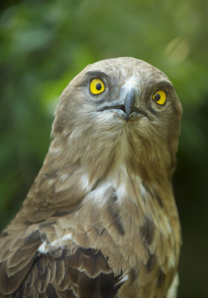 Surprised Buzzard: Portrait of a Snake-Eater Buzzard