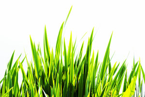 Grass abstract: grass foreground against white background