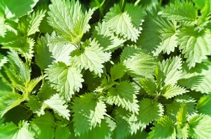 Nettle: Nettle leaves texture