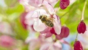 Bee in apple blossom: bee in appleblossoms