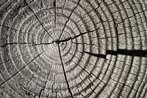 Cracked wood: slice of cracked wood