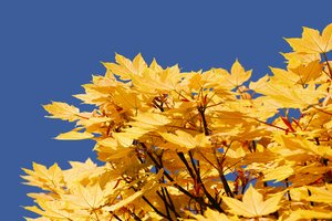 Yellow maple: yellow maple tree