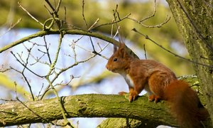 Squirrel: Small squirrel on a spring branch