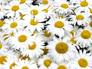 Daisies: daisies close-up