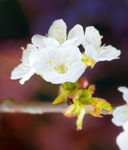Apple blossom: Vivid colored apple blossom