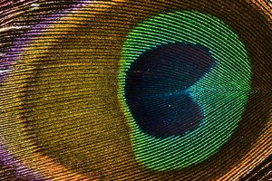 Peacock feather close up: