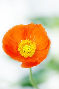 Poppy splendor: fragile orange poppy flower