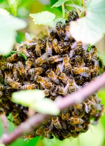 Beehive in a tree: swarm bees in a tree