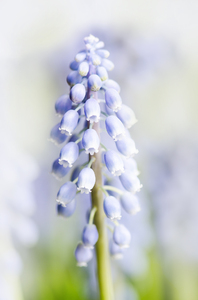 Grape hyacinth: Small spring flower - Grape hyacinth