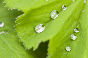 Water drops on a  leaf: Water drops on a green leaf