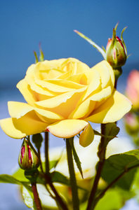 Yellow tea rose: English yellow tea rose